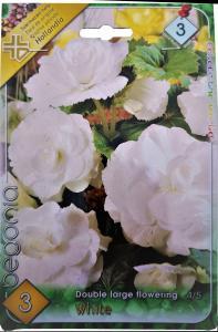 Virághagyma Begónia White