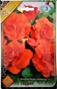 Virághagyma Begónia Copper