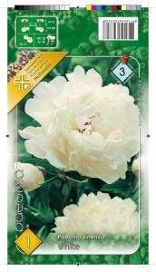 Virághagyma Bazsarózsa, Pünkösdi rózsa White