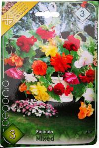 Virághagyma Csüngővirágú Begónia Mixed