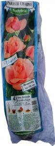 Rózsatő Pariser Charme