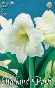 Amaryllis White