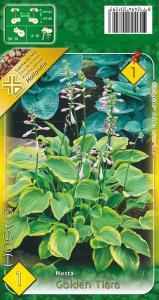 Virághagyma Árnyékliliom Golden Tiara