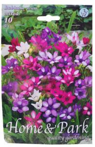 Virághagyma Babiana mixed