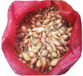 Dughagyma Makói tavaszi 0,5 kg KIMÉRT