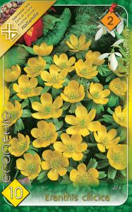 Virághagyma Eranthis Cilicica /Téltemető/