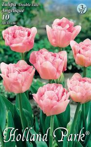 Tulipán Angelique / Teltvirágú KÉSŐI tulipán