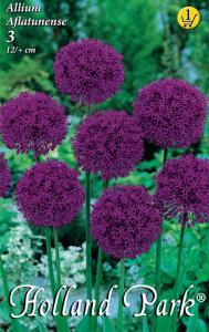 Díszhagyma Allium Aflatunense